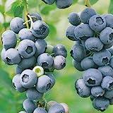 Blueberry Plants 'Chandler' Northern Highbush Includes Four (4) Plants