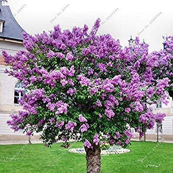 150pcs/ bag Exotic Lilac Seed Outdoor Perennial Garden Aromatic Clove Flower Ornamental Plant Tree For Flower Pot Planters