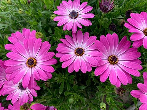 Dimorphoteca - Planta viva - Planta Natural- Pack 6 PLANTAS 13 cmø - Vipar Garden 6