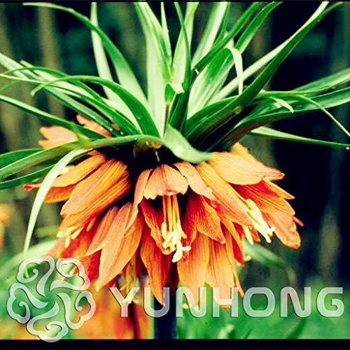 Bloom Green Co. 100 UNIDS Corona Imperial Amarilla Bonsai Fritillaria imperialis Lutea Bonsai Fácil de Cultivar Hogar Cobertizo Planta de cobertura de suelo Mejor-: 4