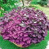 Souked 2 Red Oxalis Corymbosa Ornamental Flower Seed Garden Plants