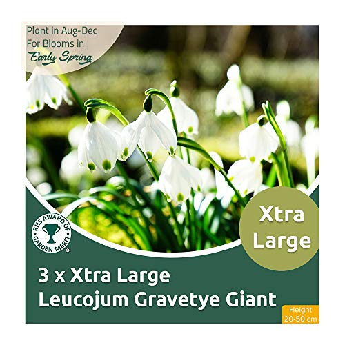 3 x Xtra Large Leucojum Gravetye Giant – Lovely Snowflake Flower – Mildly Chocolate Scented - RHS Award Winner – for Your Beautiful Garden