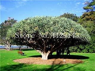 Kasuki 10 pcs Dracaena Tree Bonsai,Dragon Blood Tree(Dracaena Draco) Showy,Rare Giant Flower Bonsai Garden Plants Easy to Grow - (Color: 10)