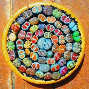 Generic Générique Graines Lithops Pseudotruncatella Semences Des Plantes Rare En Pot En Pierre Succulentes Mélange Graines -100pcs