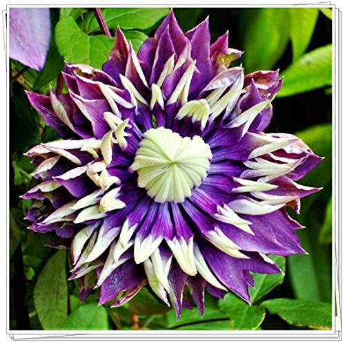 Clematis winterhart mehrjährig,Die Pflanzenform ist prall und schön und der Betrachtungseffekt...