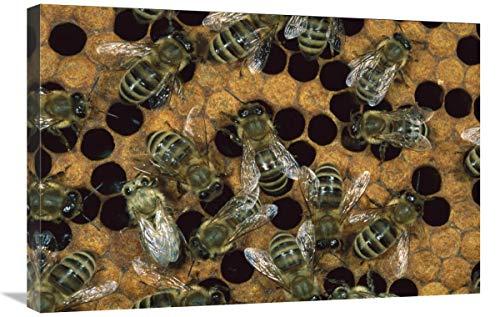 Global Gallery Lienzo de Miel de Abejas en Panal, Norteamérica - 76,2 x 50,8 cm