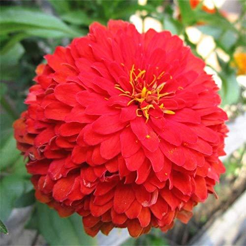 Aerlan Jahreszeiten Zierpflanzen Blumensamen,Vier Jahreszeiten Blumensamen Zinnia Blumensamen-gelb_50 Kapseln