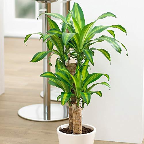 Dragon Tree Dracaena fragrans 'Yellow Coast' in a 17cm Pot