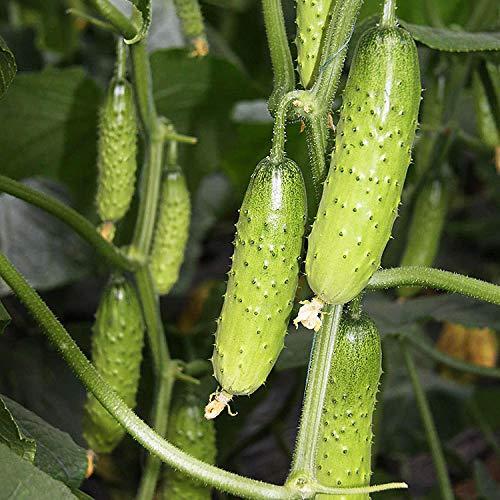 Obst Gurkensamen Trocken Gurkensamen Grüne Gurke Spinat Gurkensamen Farm Topf Vier Jahreszeiten Aussaat Gemüsesamen 300g-Fruchtige Obstgurke 300g