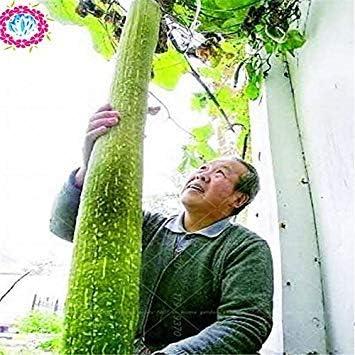 Luffa Cylindrica 10 Piezas Esponja Vegetal Semillas De Calabaza Toalla Angulares Semillas De Luffa Largos Semillas Vegetales Para Plantas De Casa Amazon Es Jardín