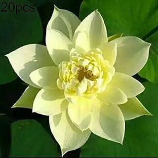 Amazon.es: la flor de loto - Jardinería: Jardín