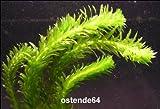 WFW wasserflora Dichtblättrige Argentinische Wasserpest/Egeria Densa