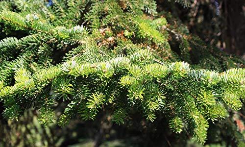 Asklepios-seeds® - 100 Samen Abies nordmanniana Nordmanntanne zertifizierte Herkunft: Bakuriana