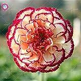 100個/袋カーネーションの種の植物グローブ鉢植えホーム&ガーデンコートヤードの95%は、フラワーツリー7生き残れます