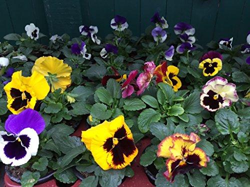 Stiefmütterchen, Viola wittrockiana F1 Hyb Großblumig, 12 bunte Veilchen Pflanzen