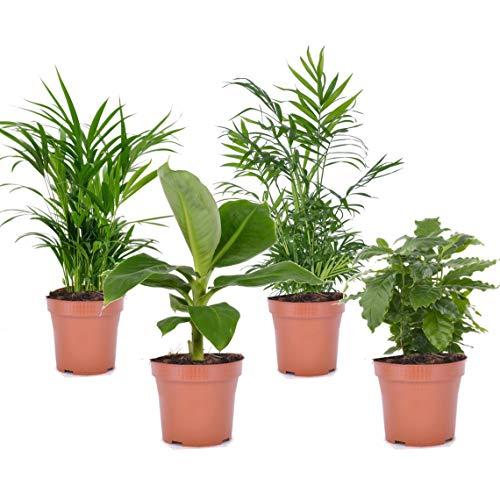 Plant in a Box - 4er-Set Zimmerpflanzen: Banane, Zwergpalme, Arekapalme und Kaffebaum. Höhe ca. 25 – 40cm Topf-Ø 12 cm