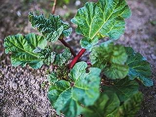 victoria rhubarb seeds