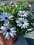 Dimorphoteca – Pianta viva – Pianta naturale – Confezione da 6 Piante 13 cm Ø – Vipar Garden 6