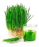Demeter Bio Weizen ganz 1 kg keimfähig Keimsaat - 2