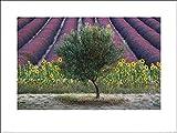 1art1 Lavendel - Olive Tree In Provence, France, David