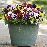 Stiefmütterchen Pflanzen Samen 15pcs Bio Viola tricolor Große Blume Frische Winterblüte Einfach zu züchten Samen zum...