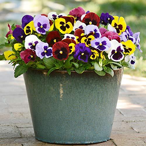 Stiefmütterchen Pflanzen Samen 15pcs Bio Viola tricolor Große Blume Frische Winterblüte Einfach zu züchten Samen zum Pflanzen Garten Hof im Freien