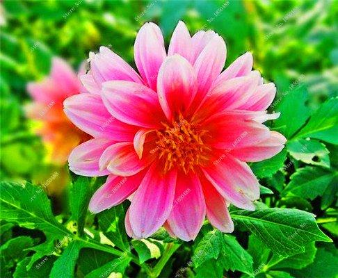 Double Dahlia Seed Mini Mary Fleurs Graines Bonsai Plante en pot bricolage jardin odorant Fleur, croissance naturelle de haute qualité 50 Pcs 10
