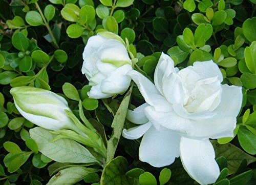 Cape Jasmine Semi Gardenia Jasminoides per Bonsai, Balcone, Giardino(20pcs)