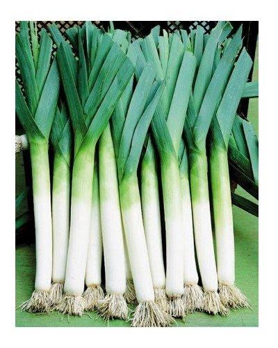 Lauch Porree Riese - Lauchzwiebel - Zwiebel - 500 Samen