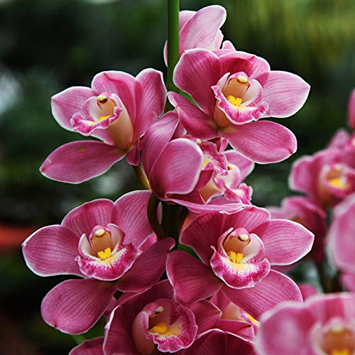 Semi di Cymbidium facili da coltivare, semi di orchidea naturale, semi di orchidea, semi di bonsai vaso di fiori per piantare casa, giardino, cortile, all'aperto, interni, 100 semi