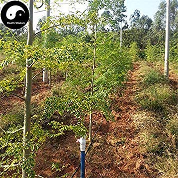 Potseed Keimfutter: 40pcs: Kaufen Moringa Pflanze Moringa.oleifera Baum für Lamu Drumstick