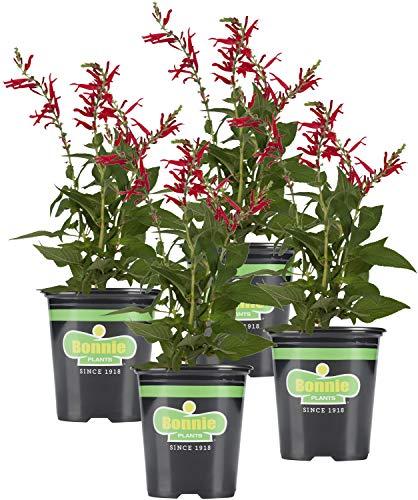 Bonnie Plants Pineapple Sage - 4 Pack Live Plants