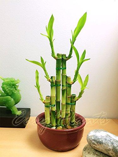 Easy Plants 1 Glücksbambus, rund, Keramik, 3 Etagen, zufällige Farbauswahl