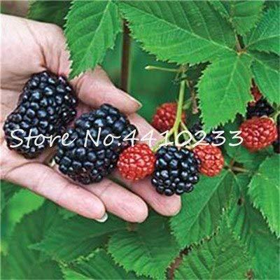 Bloom Green Co. 200 Unids Heirloom Blackberry Bonsai Fruta Berry Rojo Dulce Zarzamoras Gigantes Triple Corona Moras, Semillas De Ãrbol De Bayas Para El Frasco: e