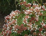 (3 Gallon) ABELIA 'Rose Creek', Pink Fragrant Blooms All Summer Long. Compact Evergreen with Very Showy Leaves with Red Stems. Liner/Starter Plants,