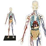 ExPLORA 546070 - Anatomía del Esqueleto Humano Transparente - Modelo Realista de 60 Piezas - 28 cm - Esqueleto + Elementos Desmontables + Base - Kit de Descubrimiento - para Partir de 8 años