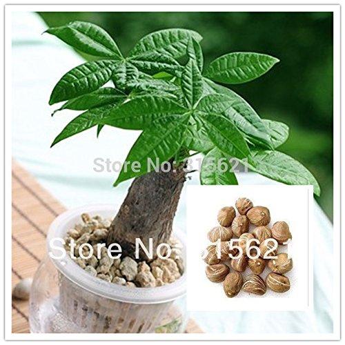 10pcs Bonsai Pachira Aquatica Macrocarpa Graines Money Tree Seed belles plantes de la santé pour la maison
