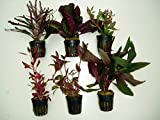 ACUARIOS MARSAN Plantas de Acuario. Lote 6 ROJIZAS