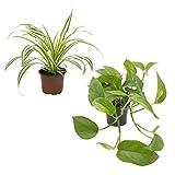 Dominik Blumen und Pflanzen, Rankpflanzen-Set, grünlilie und Efeutute