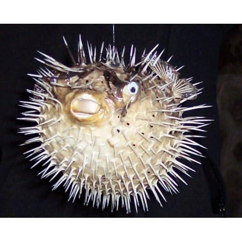 3ea5c04281485 Huge Puffer Porcupine Real Blowfish Fish