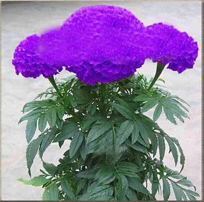 Vente chaude 11 types Maidenhair semences Jardin d'herbes aromatiques Pot Marigold Graines de fleurs en pot Chrysanthemum Graines 100PCS 10