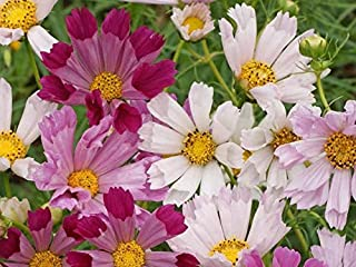 HOT!! - 200 Cosmos SEA Shells Mixed Colors Flower Seeds
