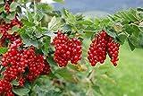 Rote Johannisbeere 2 Töpfe (Ribes rubrum)'die Vitaminbombe'