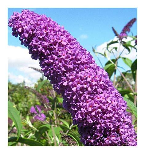 Buddleja davidii - Schmetterlingsflieder - Sommerflieder - 20 Samen