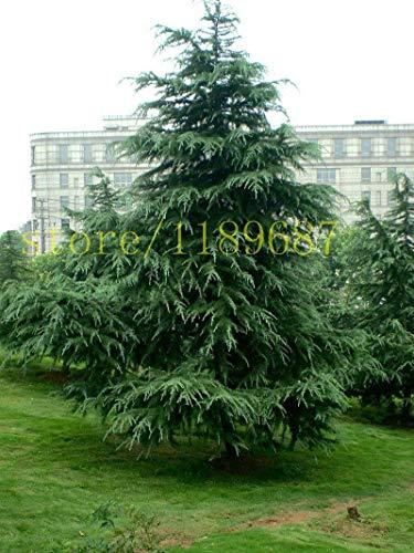30 stücke Zedernbaum Samen Widerstand gegen Kälte, Jahreszeiten Grün 2015 neue Baum Zedern Samen für Hausgarten Pflanzen einfach wachsen schnell