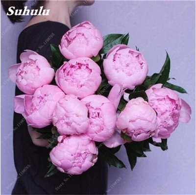 Chinese National Flower 5 graines Pcs Pivoine Plante en pot Paeonia suffruticosa Arbre Terrasse Cour Illuminez votre jardin personnel 1