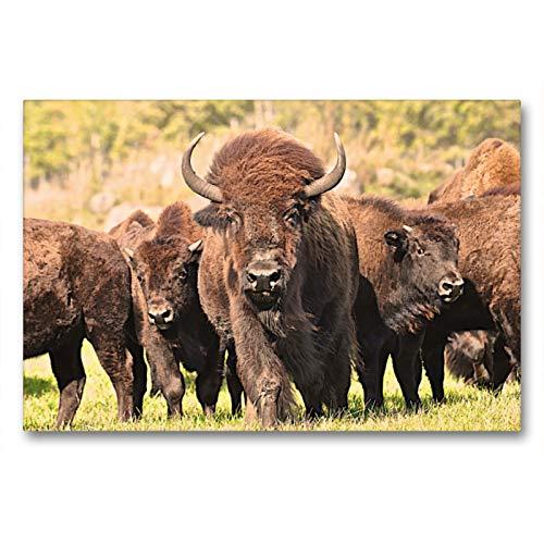 Bisones en Manitoba, 90x60 cm