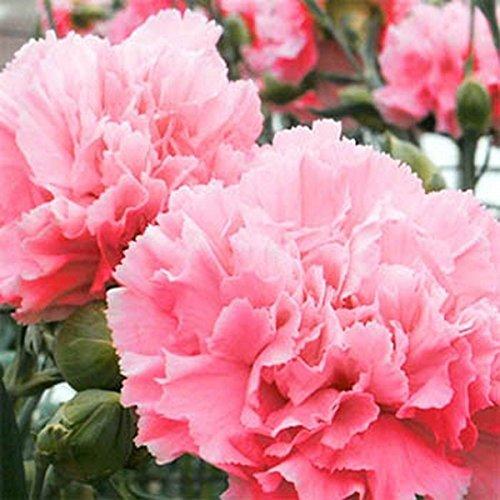 Carnation- 50 graines Rose-
