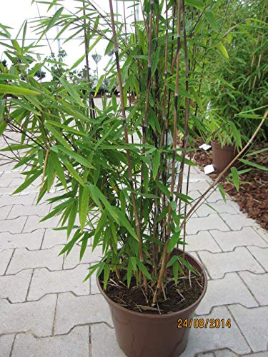 Fargesia nitida Black Pearl - Bambus Black Pearl