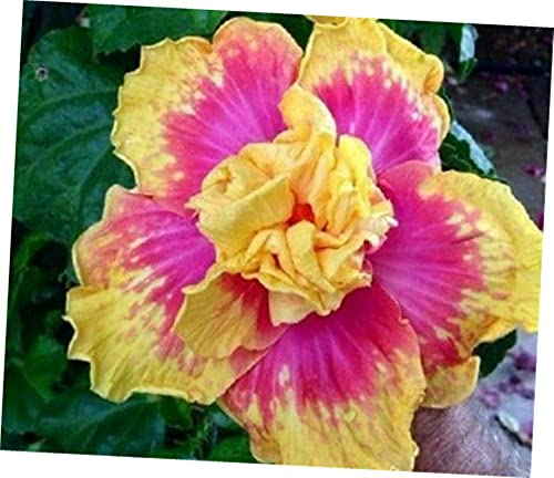 XBN 20 S.eed Pink Yellow Hibiscus, Hibiscus Summer Decoration - 167EB #TNE15